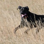 Hot Weather and Your Hunting Dog