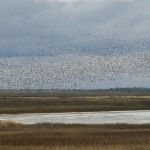 snowgeese_flock