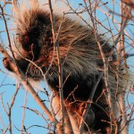 "Porcupine ""Just Hangin' Out"""