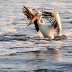 """Did Someone Say Fish?"" – American White Pelican in Springtime"