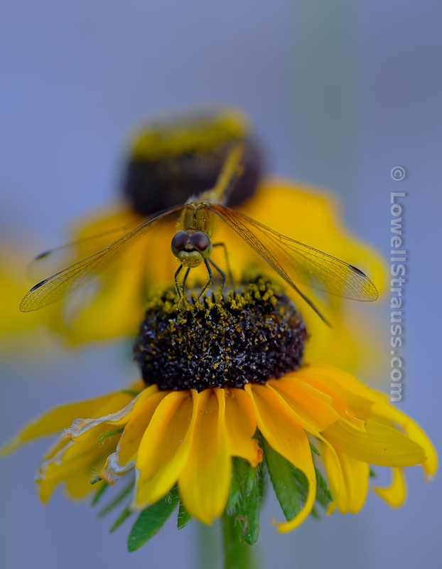 Macro photograph of a dragonfly on a Black-eyed Susan