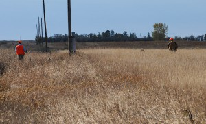 pheasant habitat - heavy cover along roadside