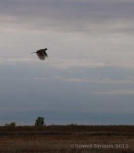 Pheasant Rooster in flight