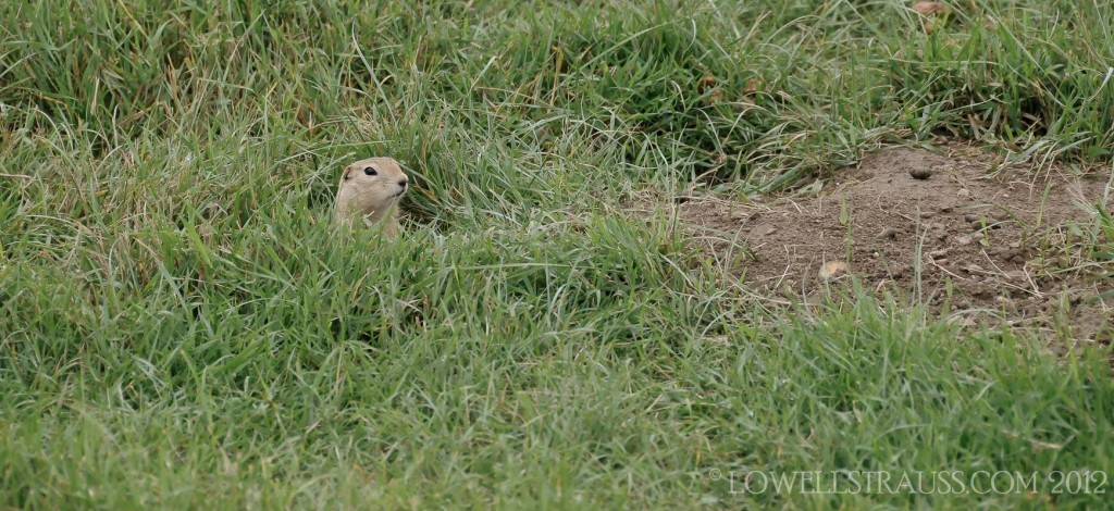 Richardson's Ground Squirrel, gopher peeking out of his burrow