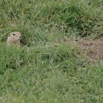 Richardson's Ground Squirrel a.k.a. gopher
