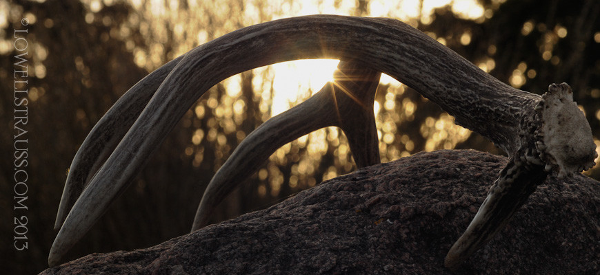 Antler at sunset