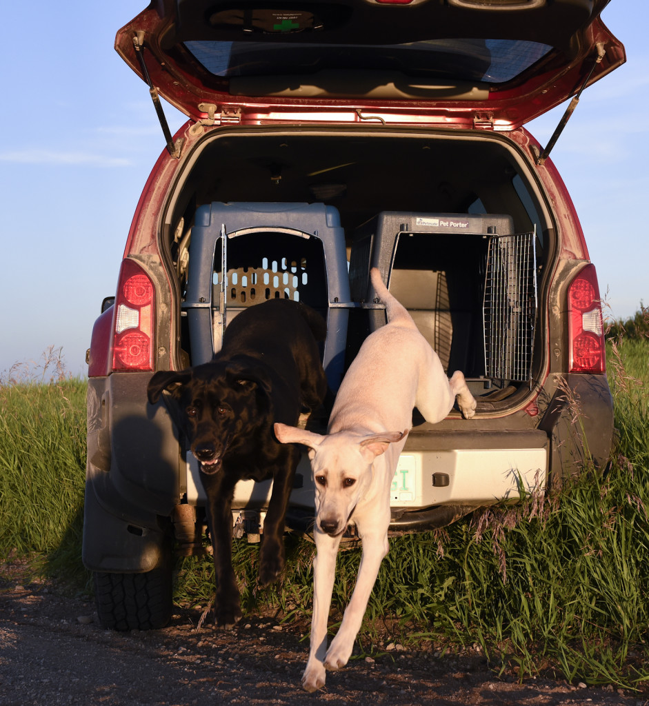 black lab and yellow lab jumping from truck