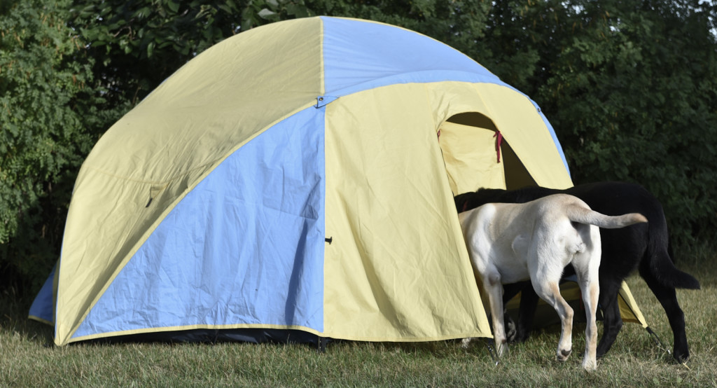 two dogs heading into a tent