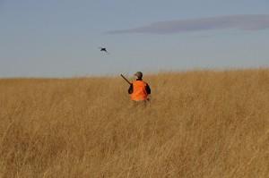 Pheasant breaking dense cover