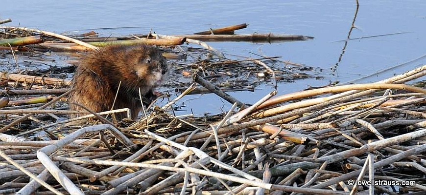 Image of a Muskrat on a reed bed
