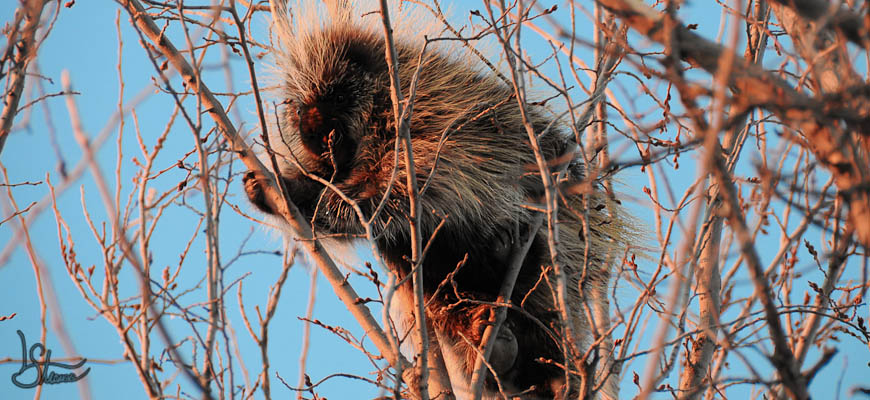 image of a porcupine in a tree
