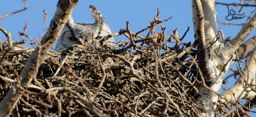 Great Horned Owl on its nest