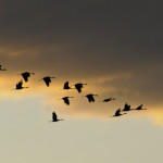 Early Fall Migration – Sandhill Cranes in Saskatchewan