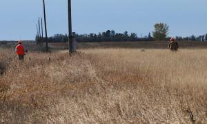 pheasant habitat - heavy cover along roadside