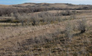 pheasant habitat - low natural cover with trees