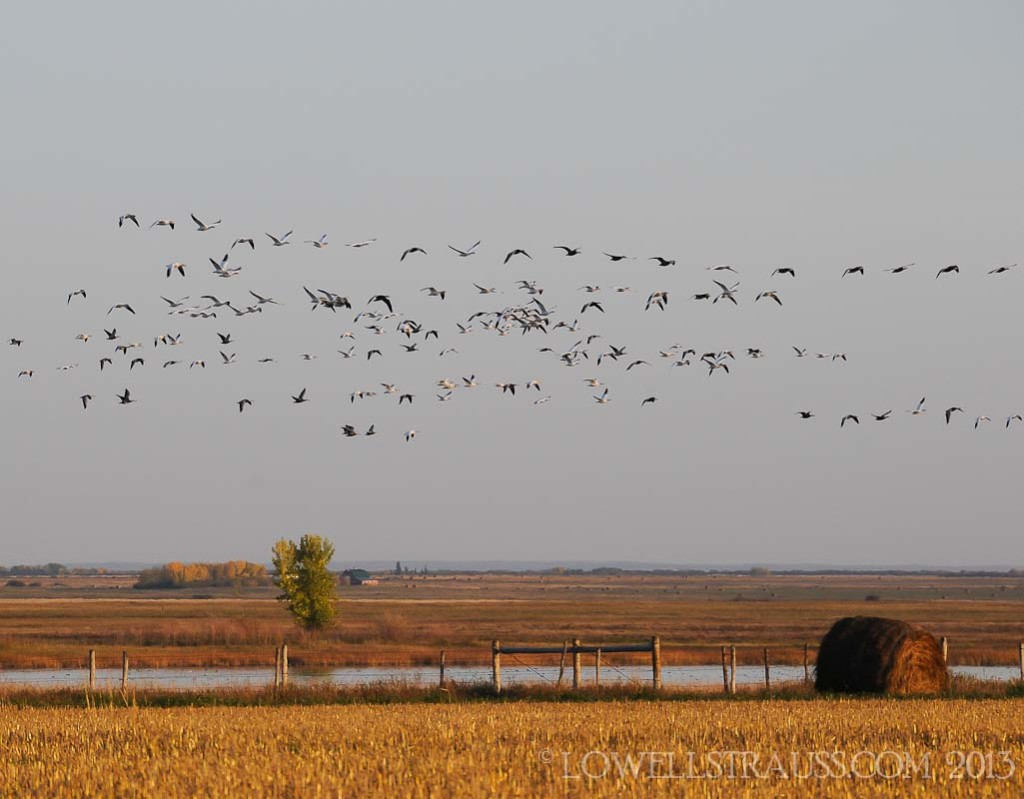 Snow Geese - (c) Lowell Strauss