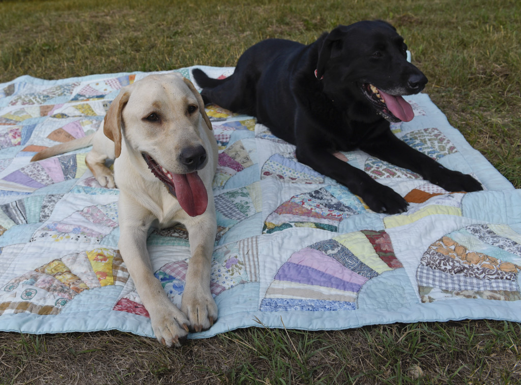black lab and yellow lab on a blanket